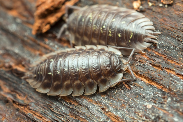 Image of roly polys which are crustaceans