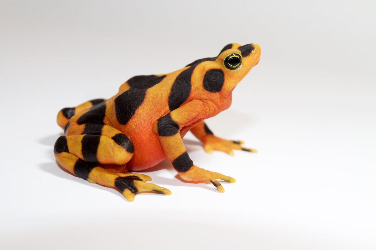 A Radiant Panamanian Golden Frog