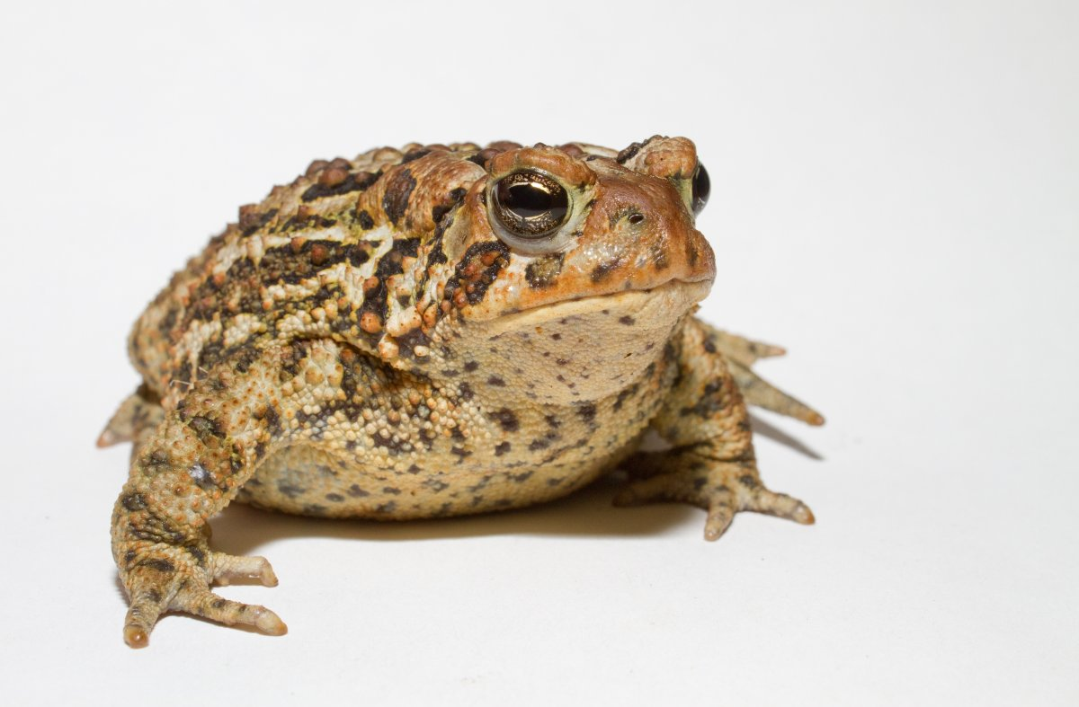 A Large American Toad