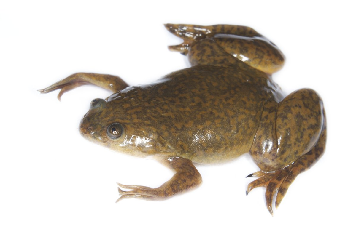 A Spotted African Clawed Frog
