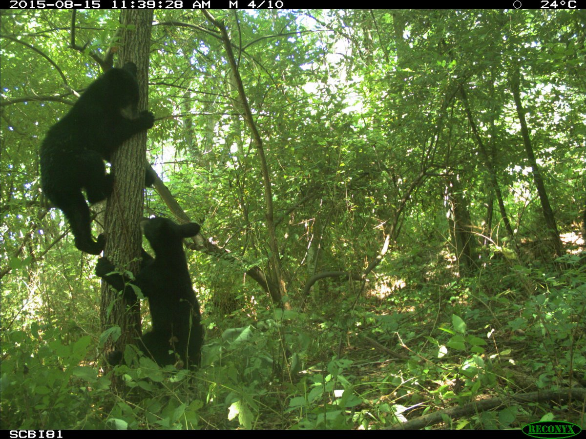 Image of camera trap data displaying images of bear cubs climbing a tree.