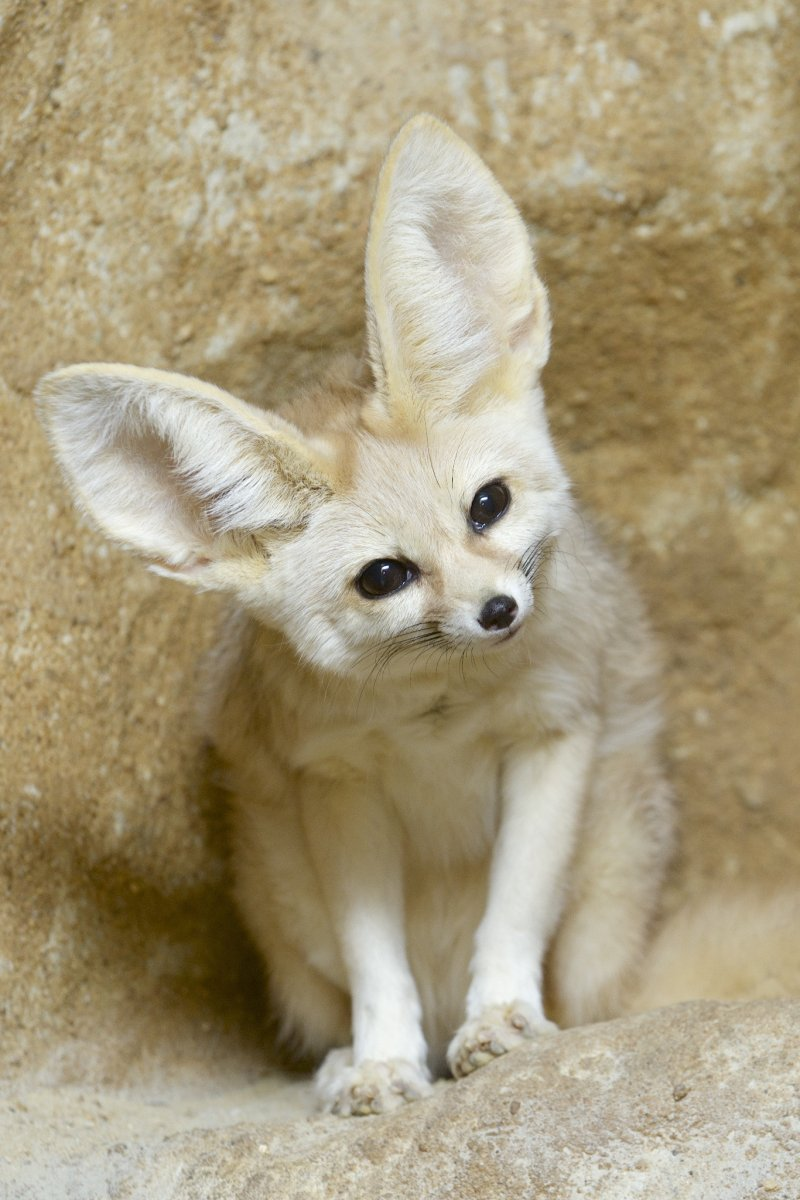 Image of a fennec fox with a tilted head