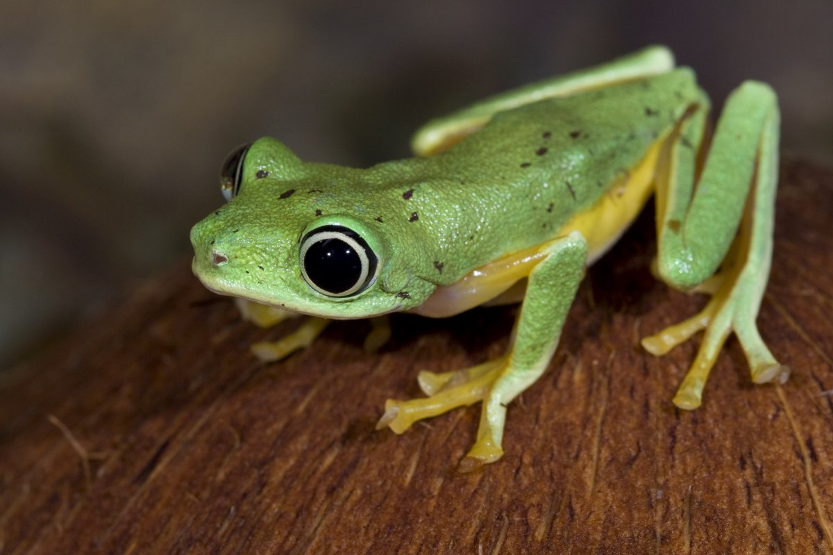 Image of a green lemur frog.