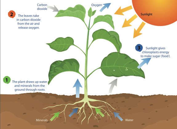 Infographic showing photosynthesis