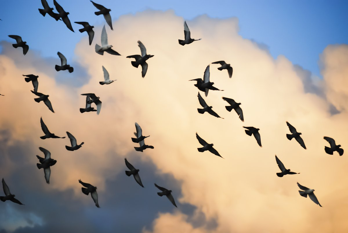 Image of pigeons flying against a blue sky and clouds.