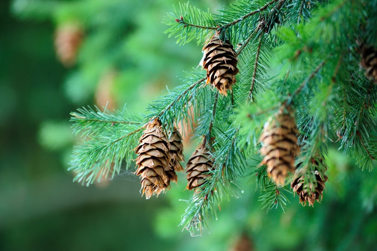 Conifer tree needles