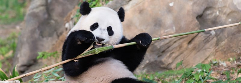 Image of panda eating bamboo