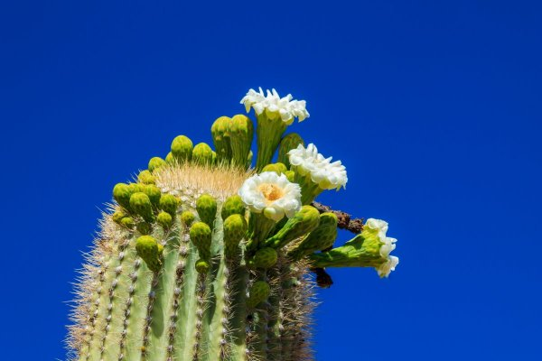Image of a saguaro cactus in bloom