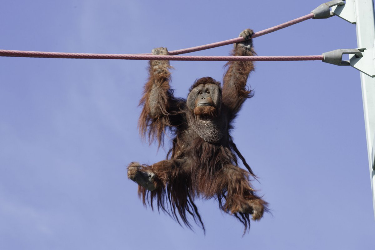 An orangutan hanging on the O line at Smithsonian's National Zoo