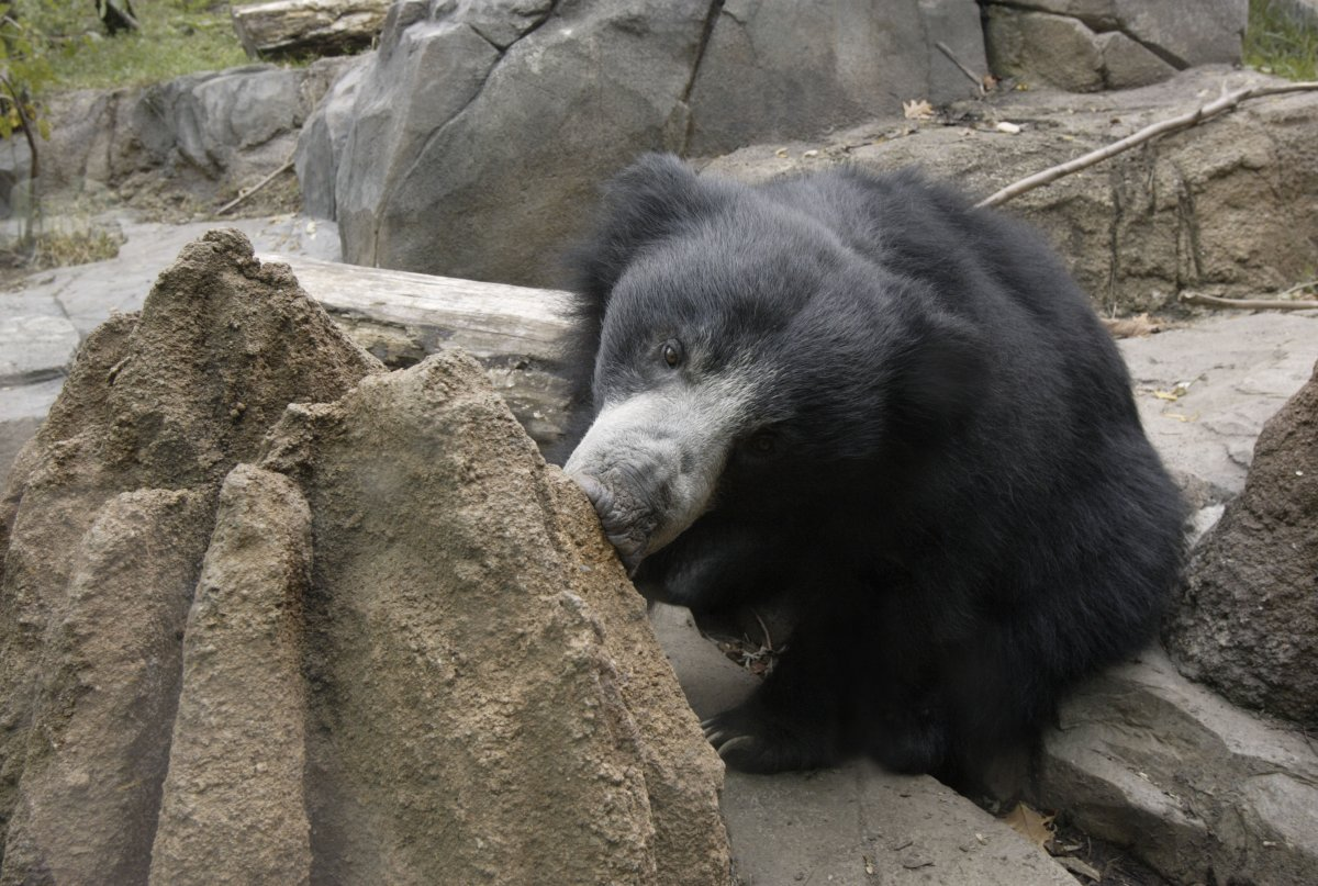 A sloth bear at Smithsonian's National Zoo