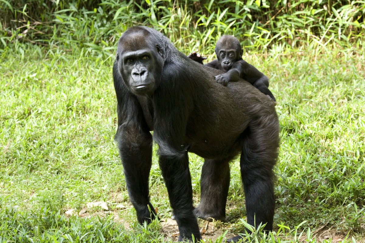 A western lowland gorilla mother and cub at Smithsonian's National Zoo