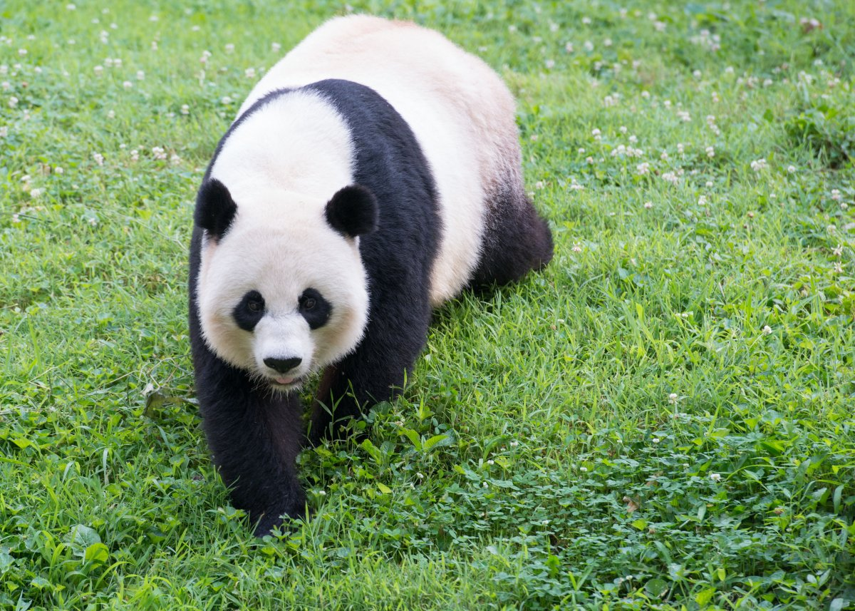 A giant panda at Smithsonian's National Zoo