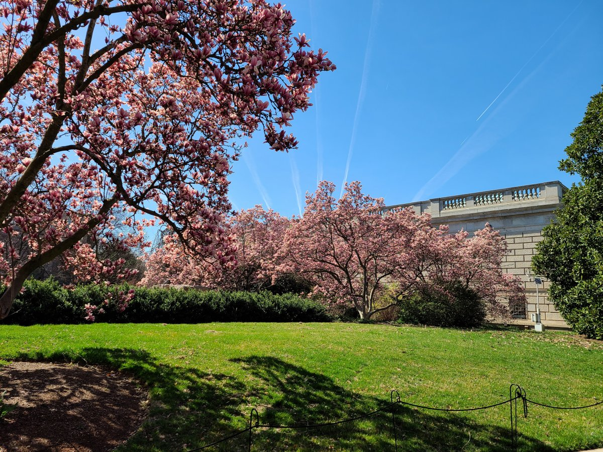 Trees with pink blossoms and green grass in front of the gray exterior of the Smithsonian's Freer Gallery of Art
