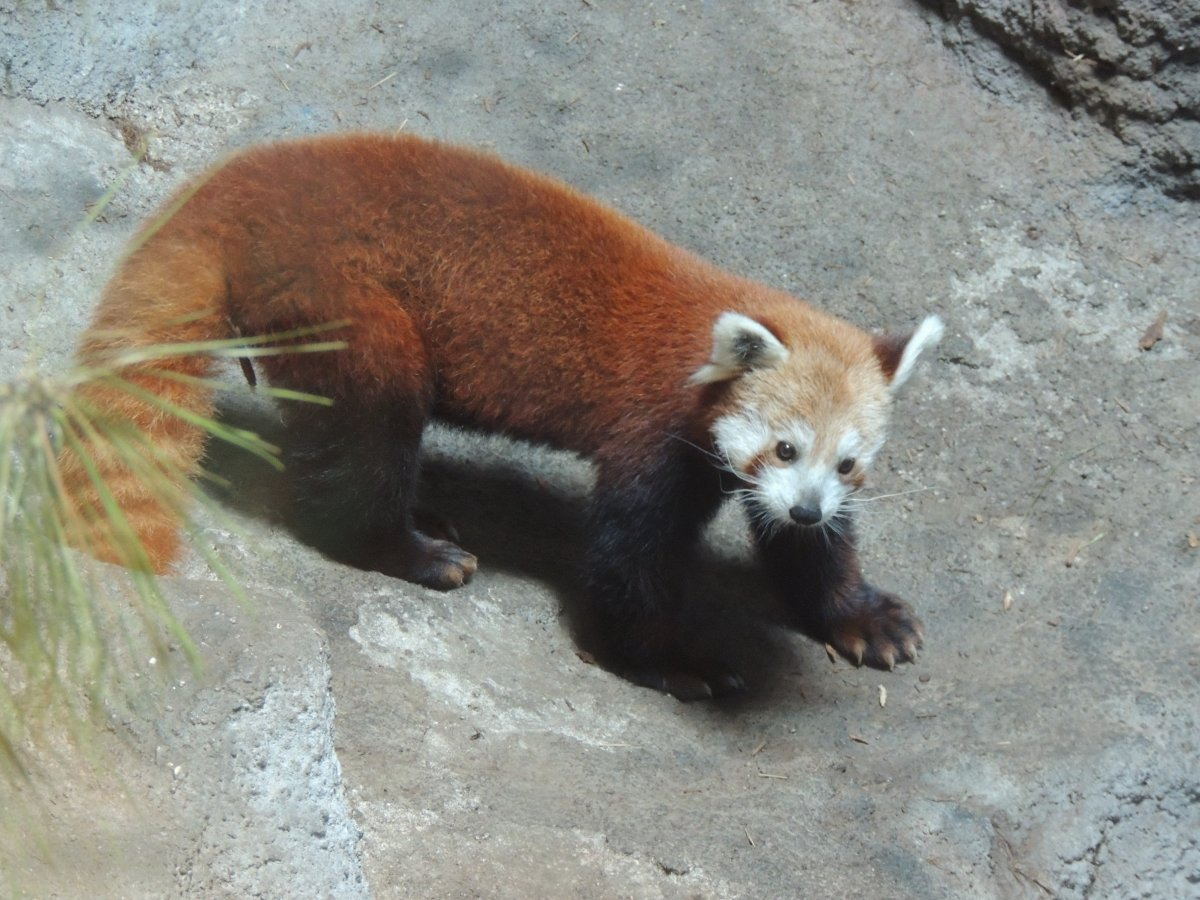A red panda standing on four legs on the ground.