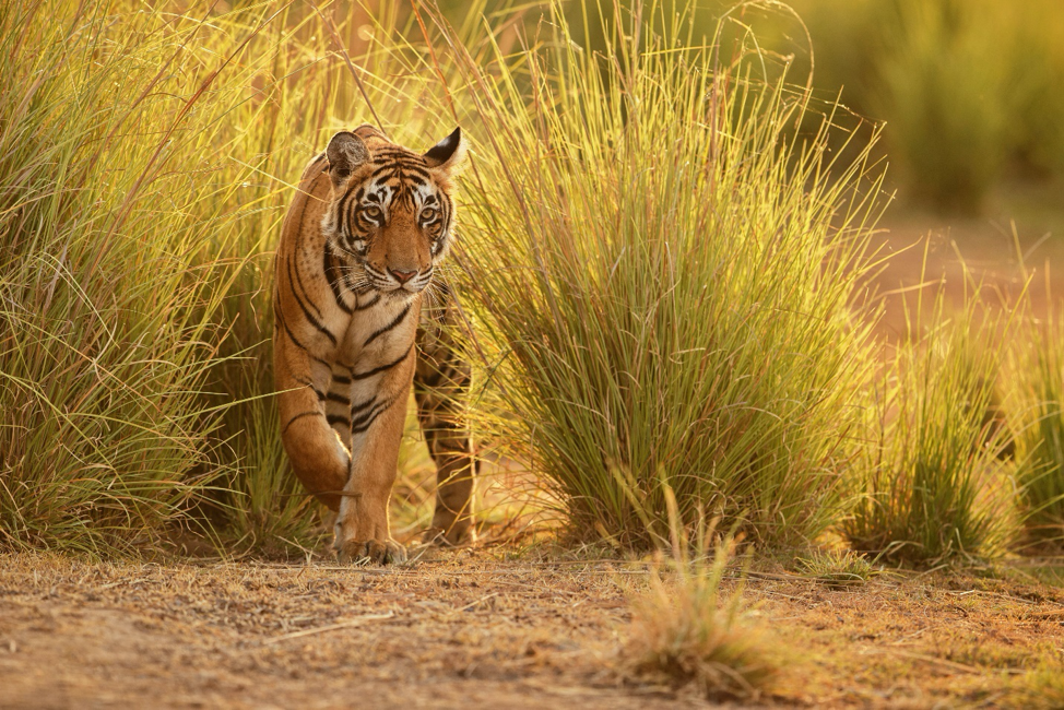 Male tigers have large territories with an average size of 50 sq. kilometers.