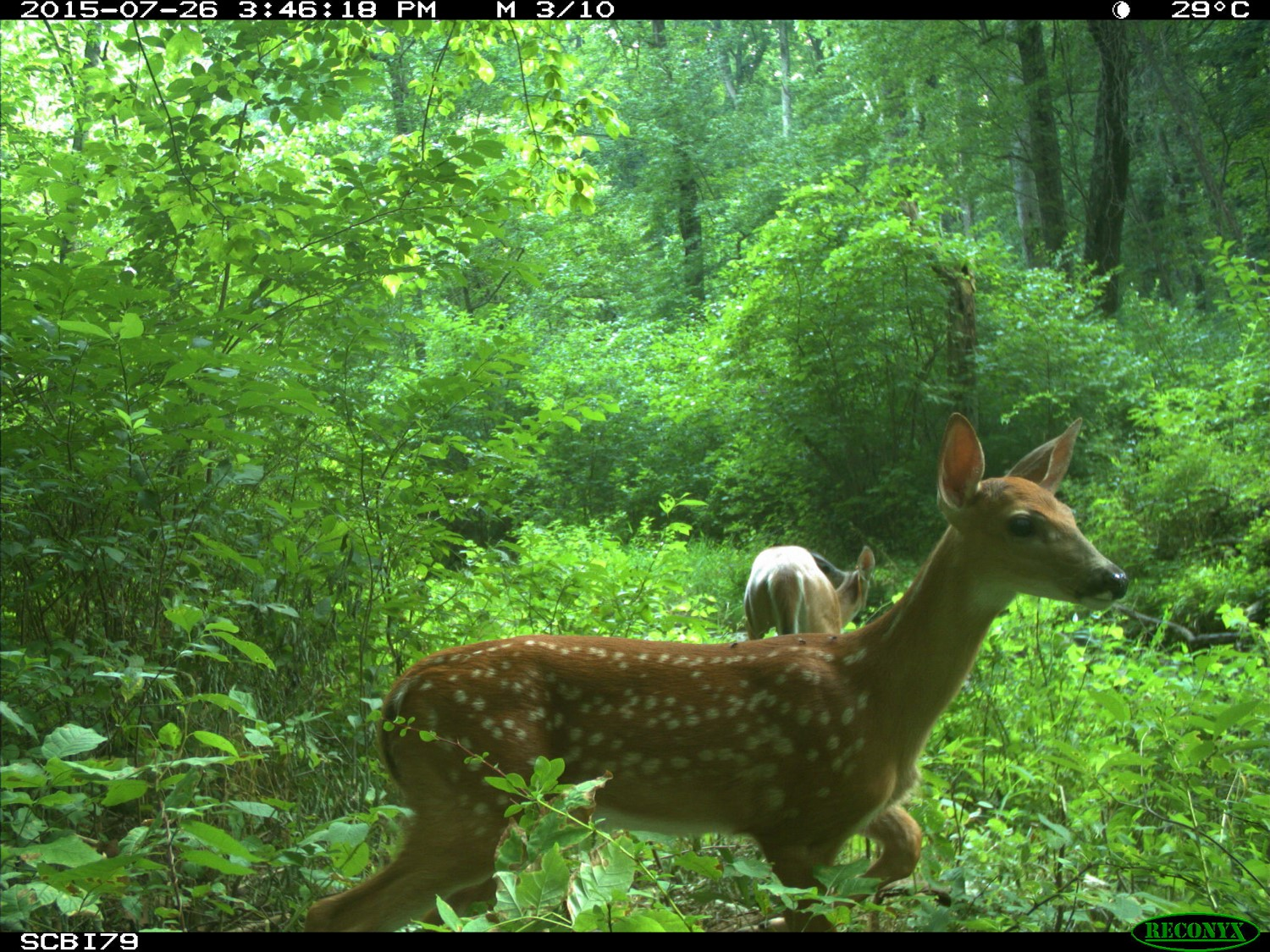 Camera Trap picture of deer