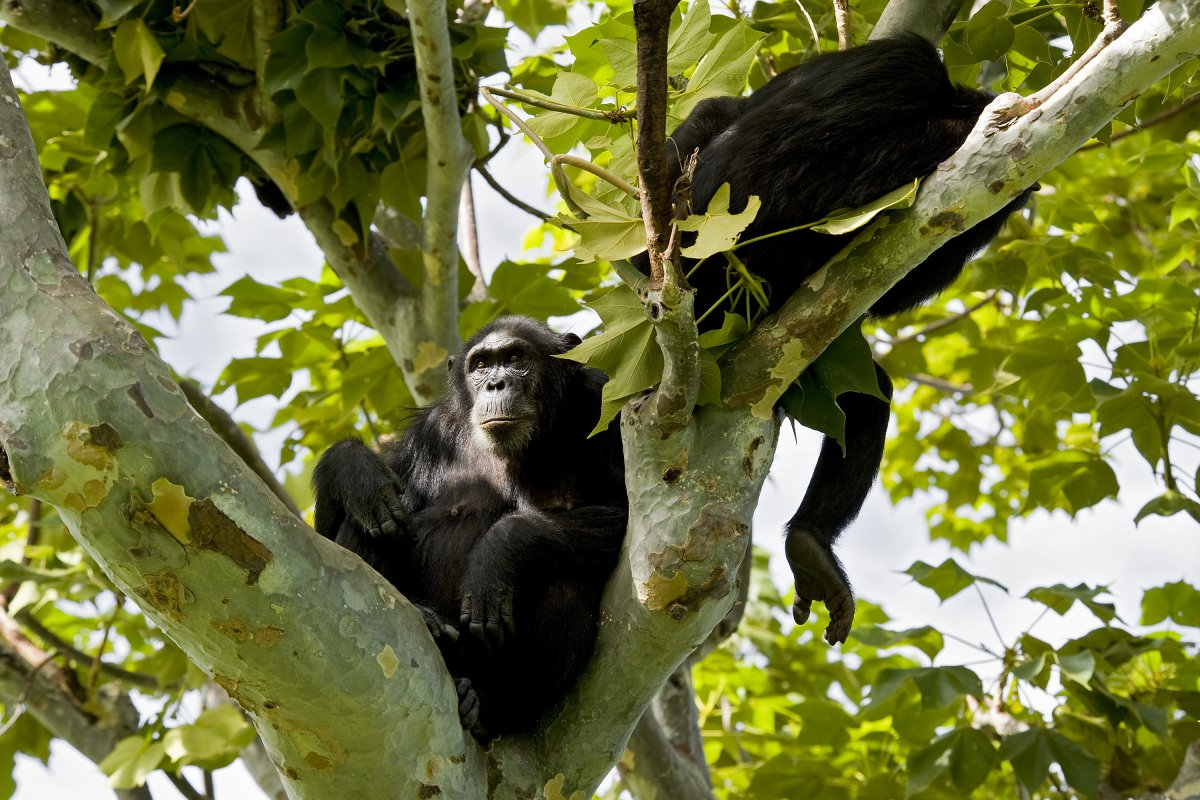 Image of a pair of chimpanzees rests in a tree in Gombe National Park.