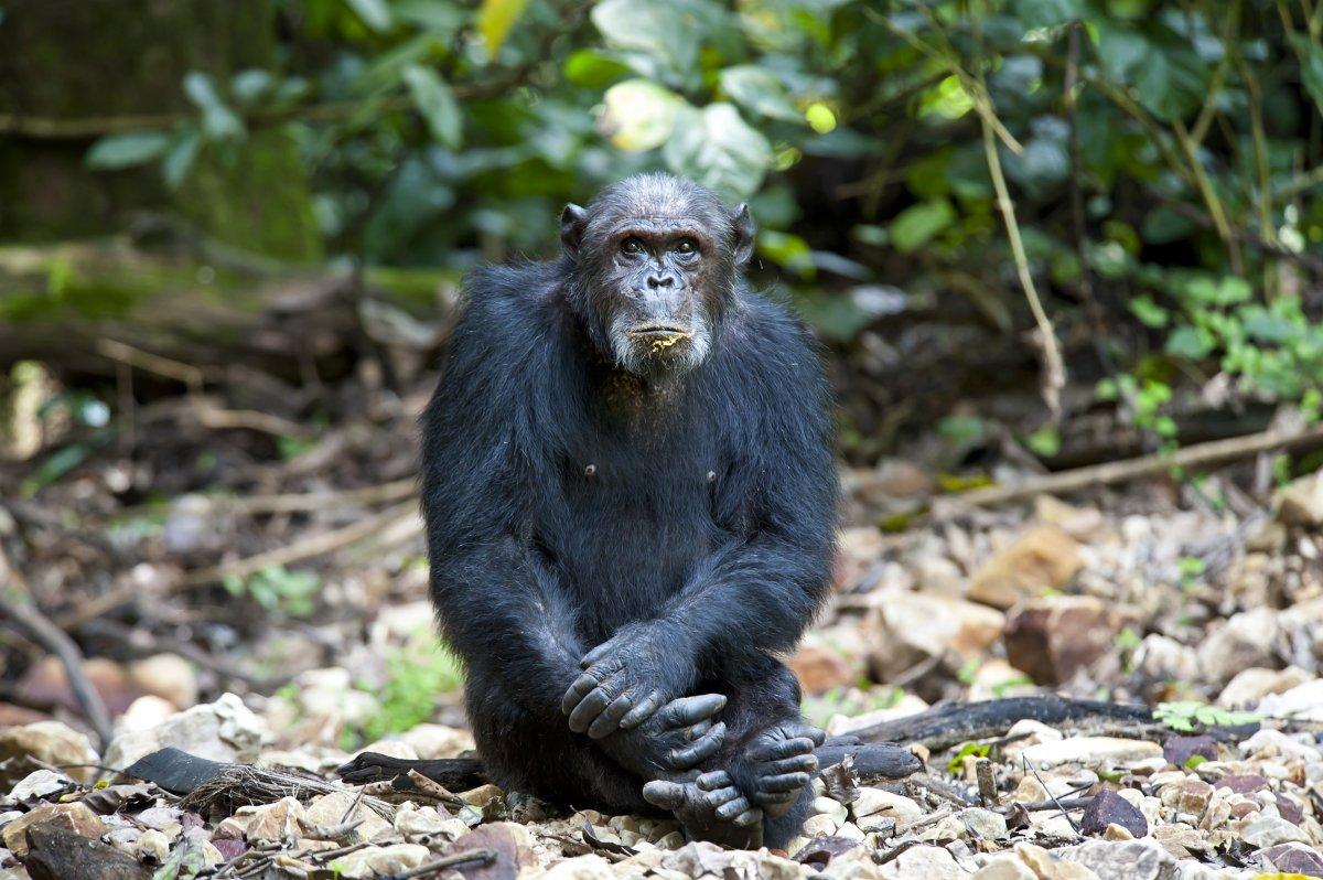 Image of a chimpanzee in Gombe National Park.
