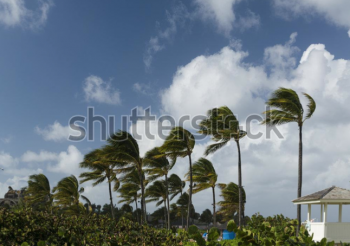 palm trees being pushed by the wind