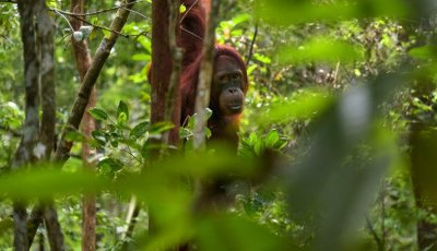 An orangutan hangs from a tree in a moderately dense forest